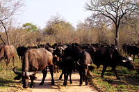 Large herd of Cape Buffalo