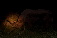 Male Rhino grazing at night