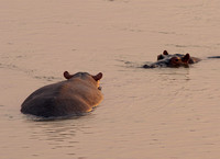 Hippos Alive